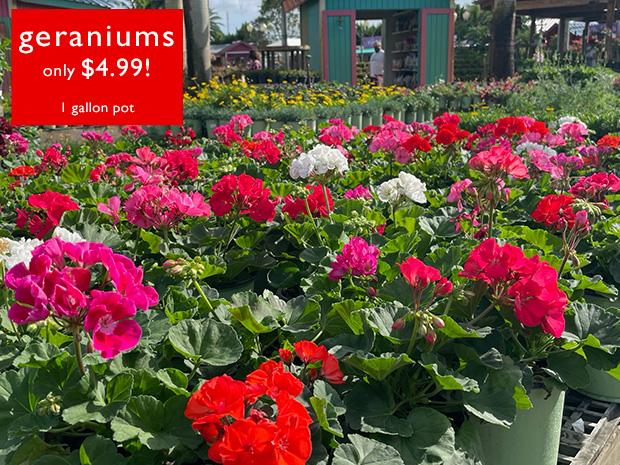 Geraniums just $4.99!! 1 gal pots