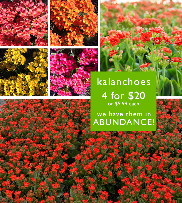 Kalanchoes - we have them in abundance! 4 for $20 or $5.99 each.
