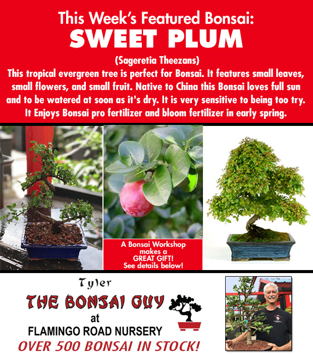 This week's featured Bonsai is Sweet Plum. We have over 500 Bonsai in stock to choose from! http://www.tylerthebonsaiguy.com