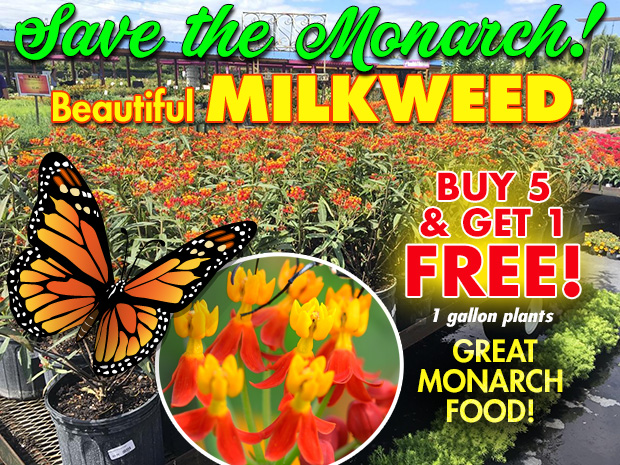 Save the Monarch! Time to stock up on Milkweed. Buy 5 get 1 FREE, 1 gallon pots.