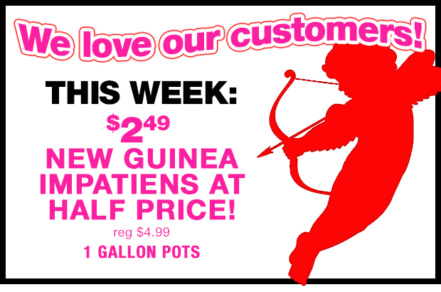 We LOVE OUR CUSTOMERS! $2.49 each, New Guinea Impatiens in 1 gallon pots! Perfect for your Valentine!