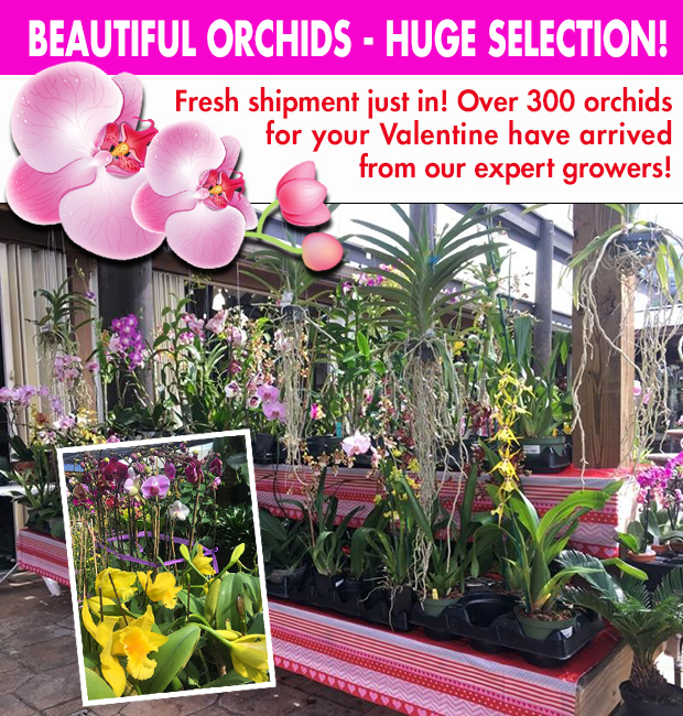 Beautiful Orchids for your Valentine!