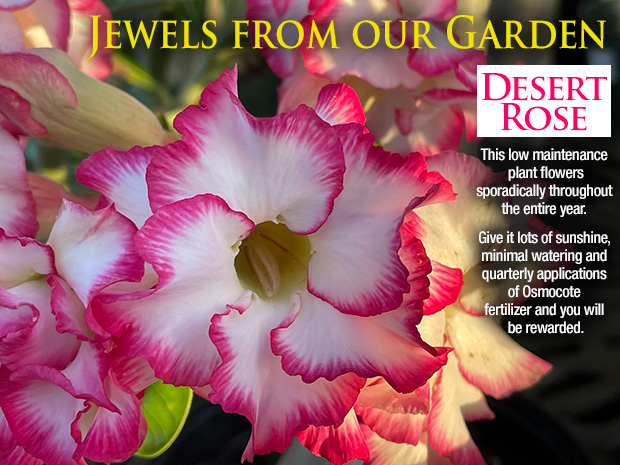 Desert Rose - A beautiful jewel from our garden. Sunshine, light watering and fertilizer reward you with a gorgeous plant!