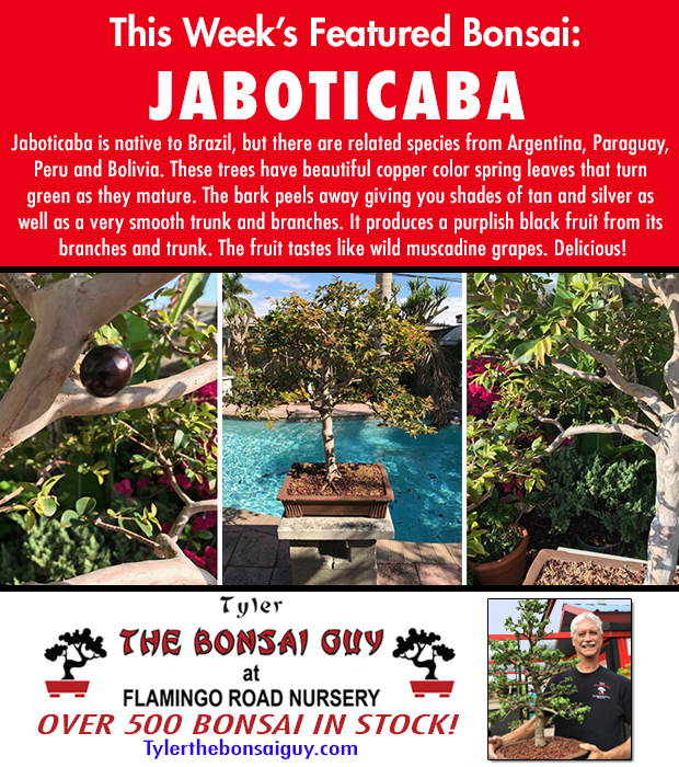 This week's featured Bonsai is Jaboticaba. Over 500 Bonsai in stock!