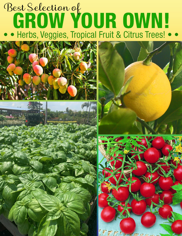 Best selection of GROW YOUR OWN, Veggies, Herbs, Tropical Fruits and Citrus Trees!