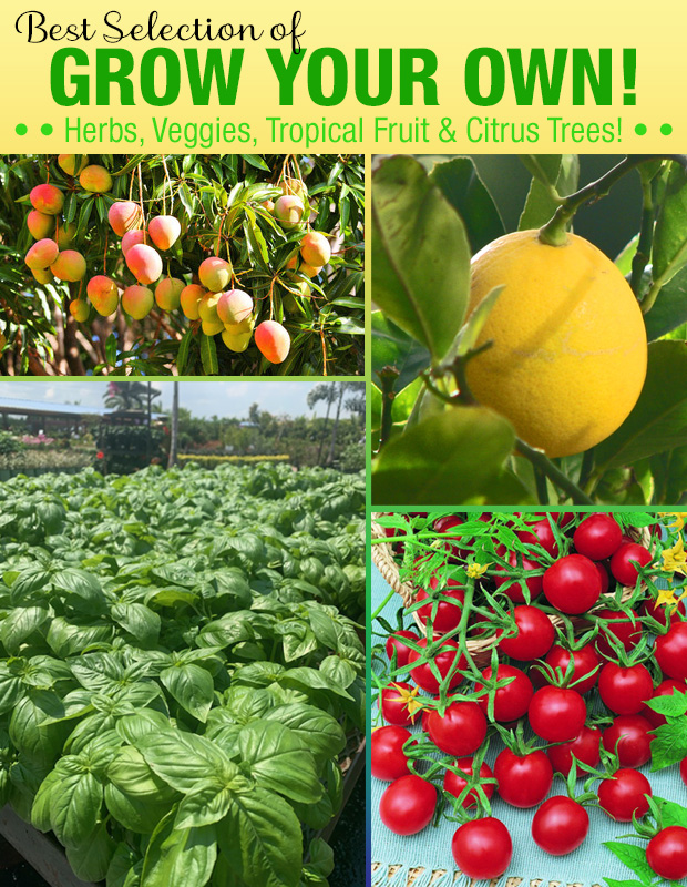 We have the best selection of Grow Your Own veggies, herbs, citrus and tropical fruit trees in town!
