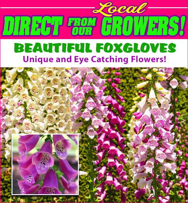 Direct from our local growers, beautiful Foxgloves are here with unique and eye catching flowers.