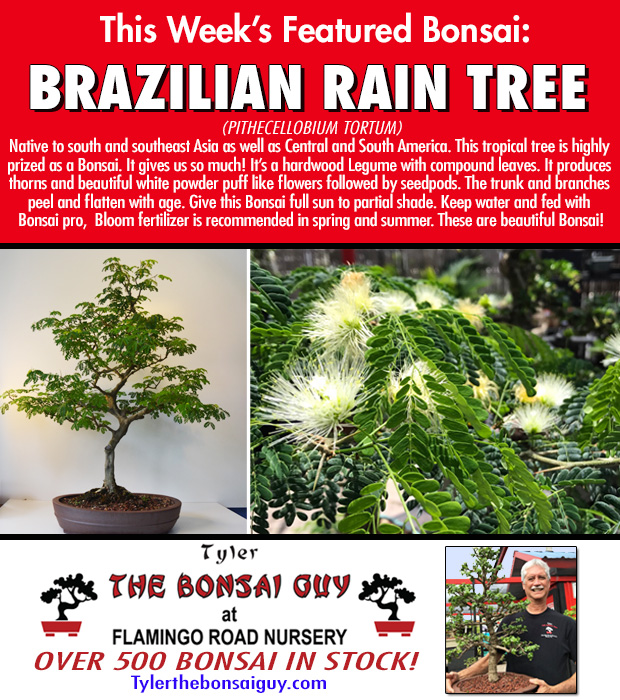 This week's featured Bonsai is BRAZILIAN RAIN TREE. We have over 500 Bonsai in stock.