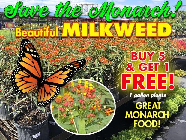 Beautiful Milkweed Buy 5 - Get 1 FREE!