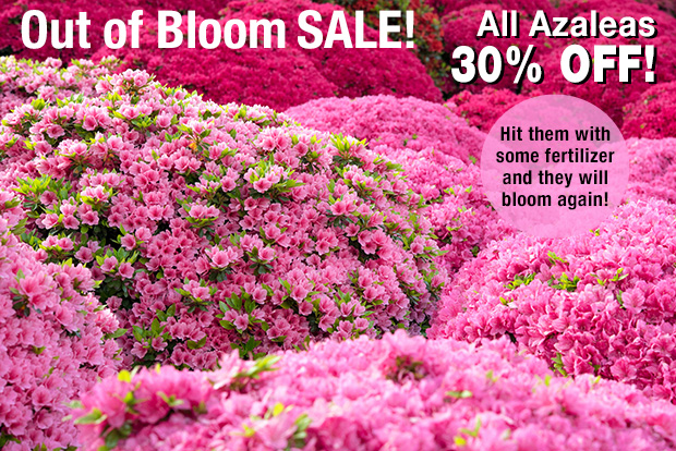 Out of bloom SALE! Azaleas 30% OFF!