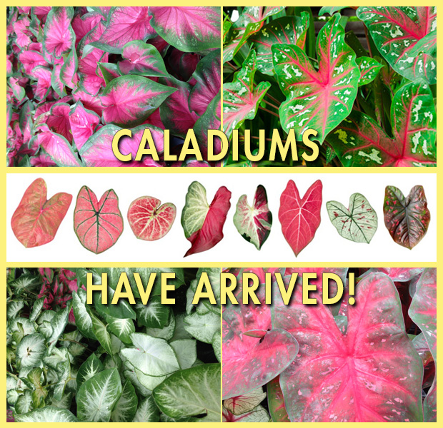Caladiums have arrived!!!!