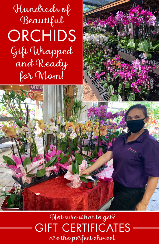 Gift wrapped orchids all ready for Mom!