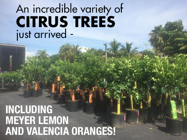 Citrus Trees just arrived, including Meyer Lemon and Valencia Oranges!