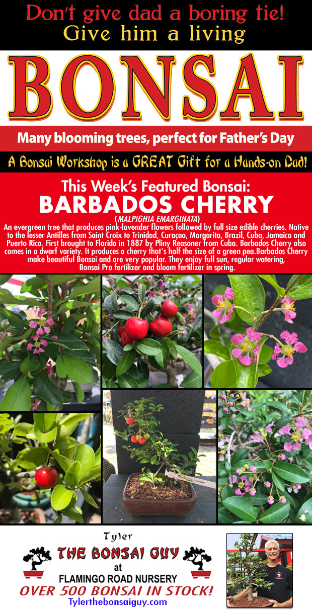 This week's featured Bonsai is BARBADOS CHERRY. We have over 500 Bonsai in stock. Bonsai makes a GREAT Father's Day gift!