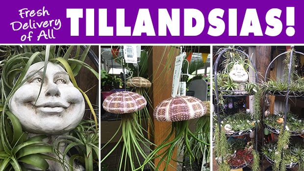 Fresh delivery of Tillandsias, we are LOADED!