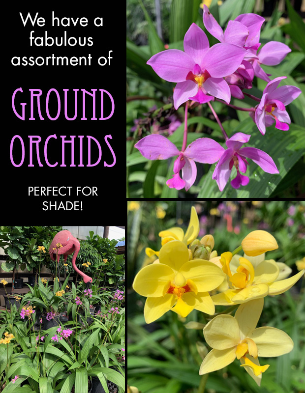 Ground Orchids, great for shady spots. Grab them while we have them!