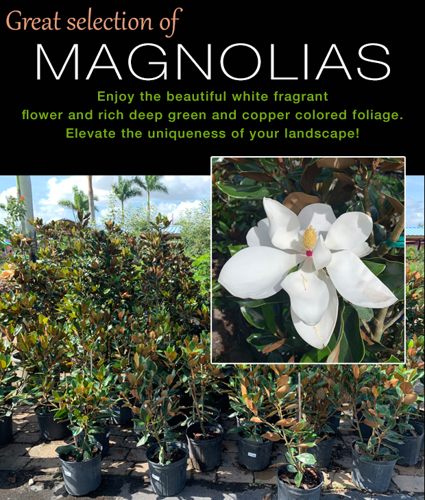 Great selection of Magnolias to elevate your landscape.