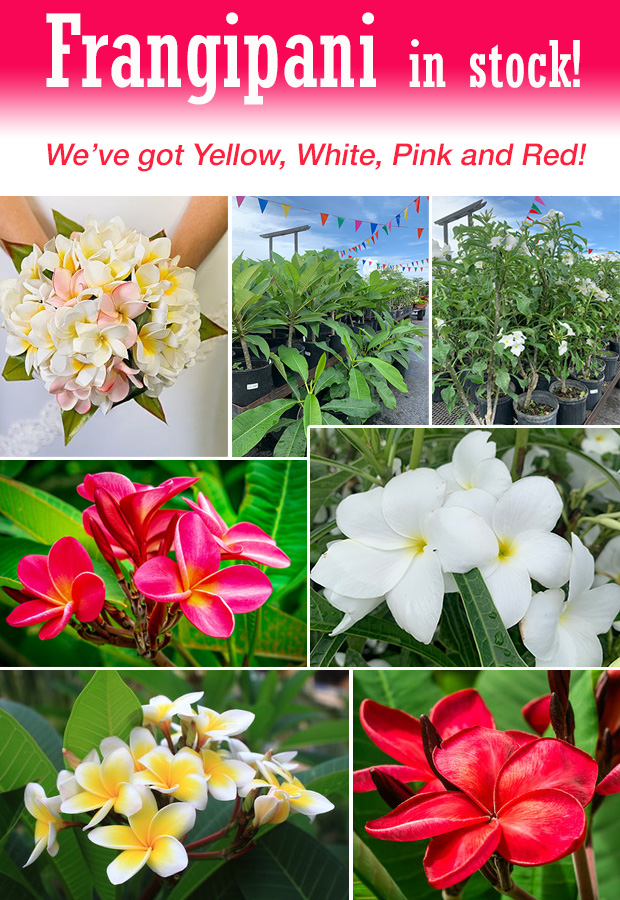 Frangipani is in! We have plants in white, yellow, red and pink.