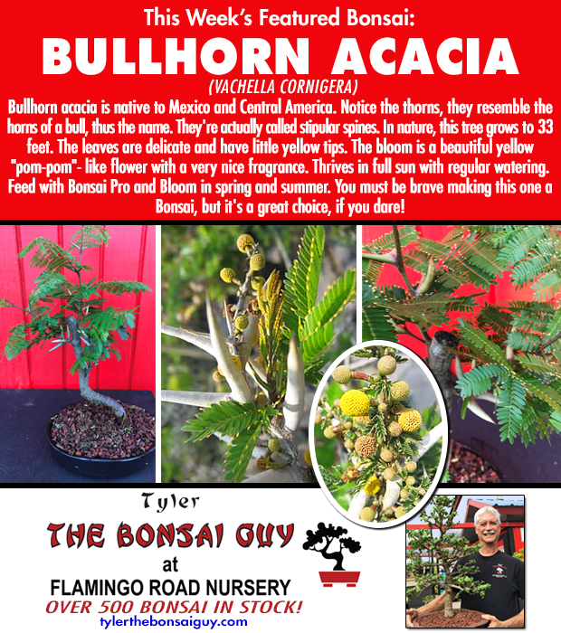 This week's featured Bonsai is BULLHORN ACACIA. We have over 500 Bonsai in stock.