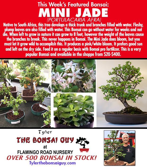 This week's featured Bonsai is MINI JADE. We have over 500 Bonsai in stock.