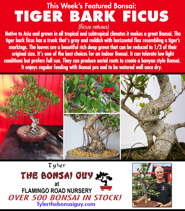 This week's featured Bonsai is Tiger Bark Ficus. We have over 500 Bonsai in stock to choose from! http://www.tylerthebonsaiguy.com