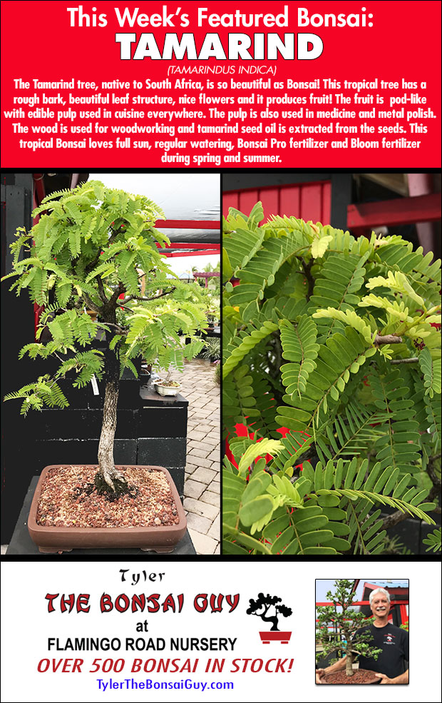 This week's featured Bonsai is TAMARIND. We have over 500 Bonsai in stock.