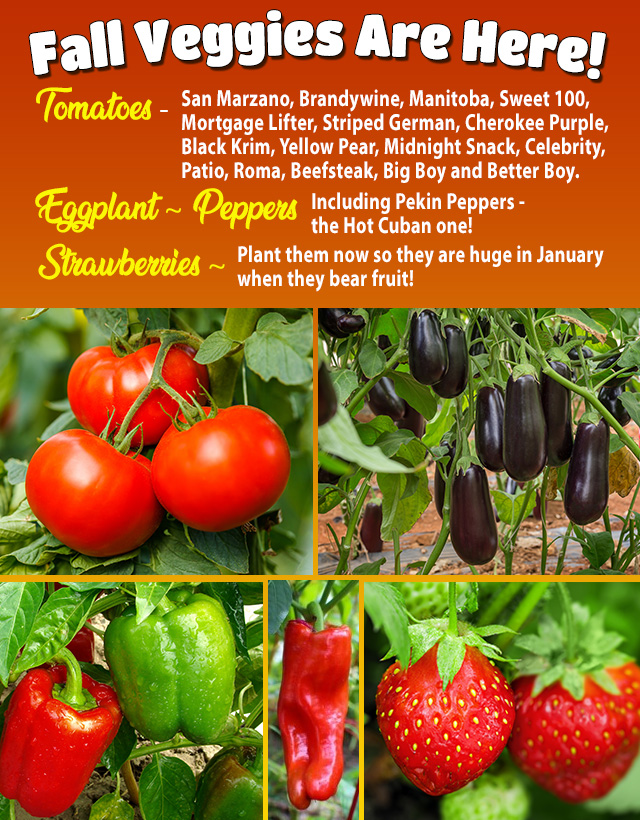 Fall Veggies Are Here! Tomatoes, Peppers, Eggplant. Strawberries and lots more!