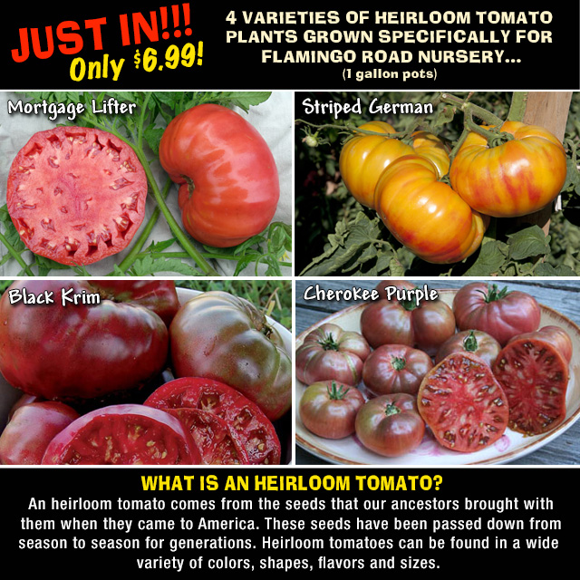 Just In! HEIRLOOM TOMATO PLANTS! Just $6.99 for aa 1 gallon pot. Mortgage Lifter, Striped German, Black Krim and Cherokee Purple!