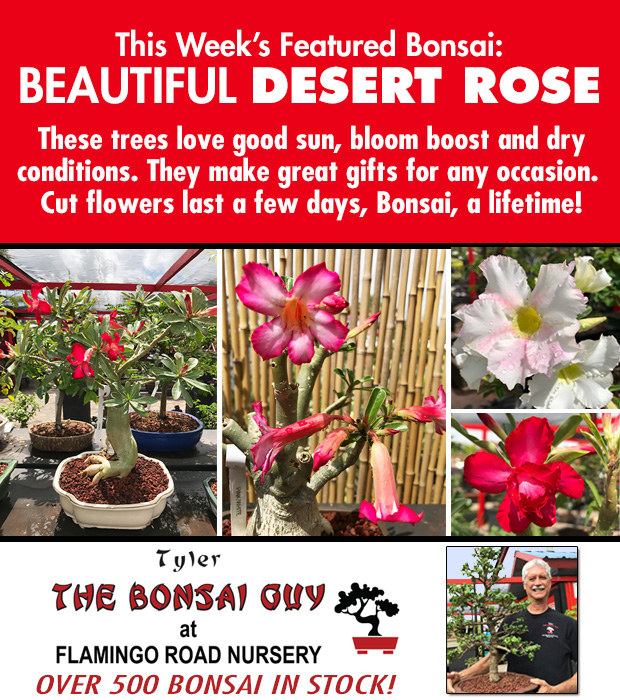 This week's featured Bonsai is Desert Rose. We have over 500 Bonsai in stock to choose from! http://www.tylerthebonsaiguy.com