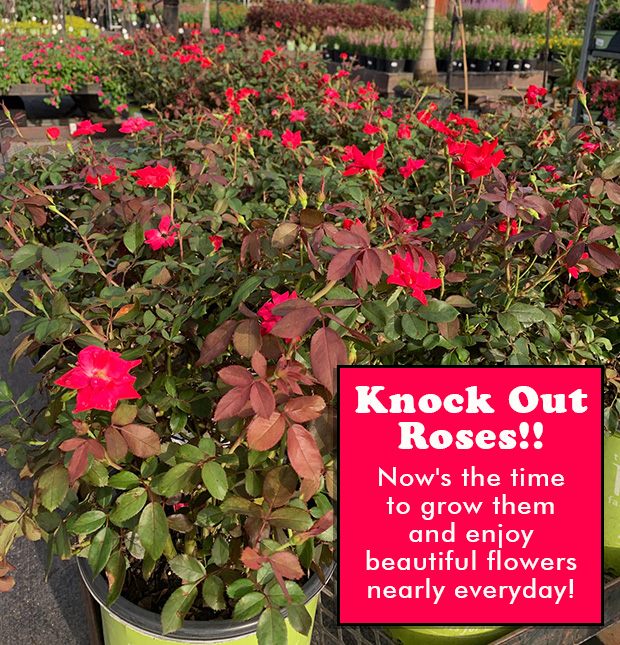 Just in! Gorgeous Knock Out Roses! Enjoy these beautiful flowers nearly every day! Now is the time to plant.