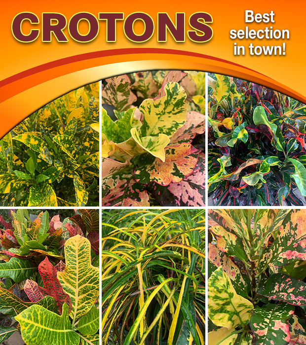 We have CROTONS! Best selection in town.