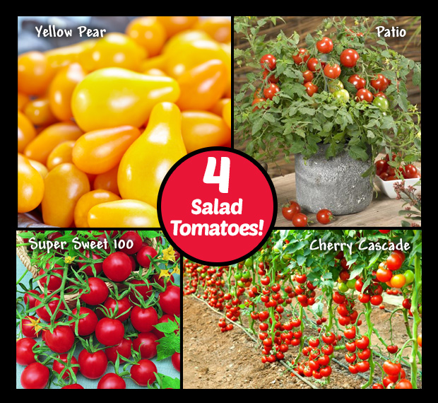Salad tomatoes, - 4 varieties available.