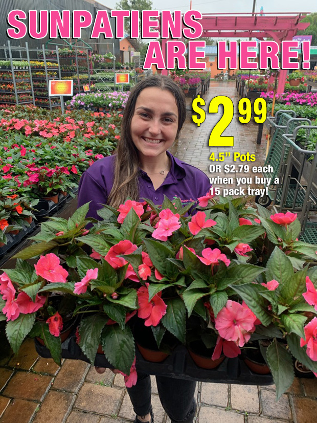 "Sunpatiens Are In! $2.99 each, 4.5"" pots or $2.79 each when you buy a tray of 15!"