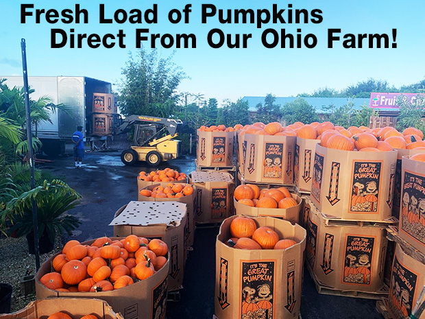 Fresh load of pumpkins has arrived from our farm in Ohio.