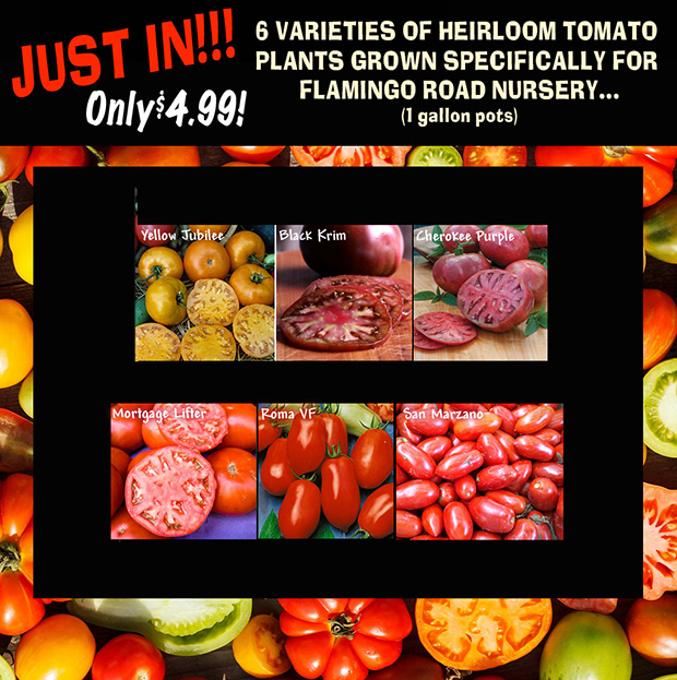 JUST IN! Heirloom tomatoes, 6 varieties grown specially for Flamingo Road Nursery. Just $4.99 for a 1 gallon pot.