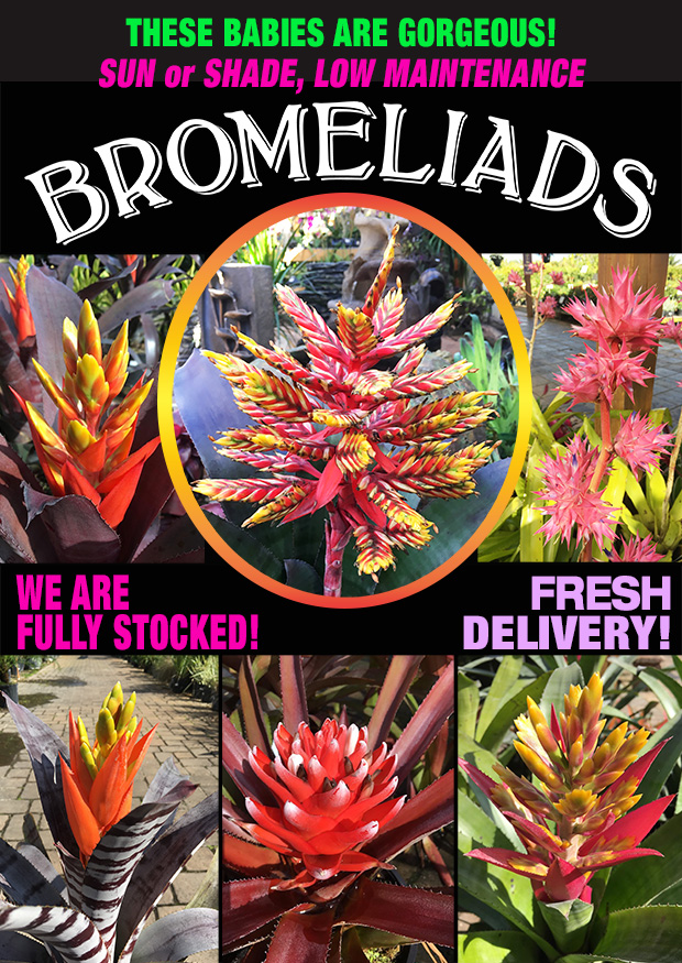 BROMELIADS jUST iN! bEAUTIFUL COLOR AND VARIETY TO CHOOSE FROM!