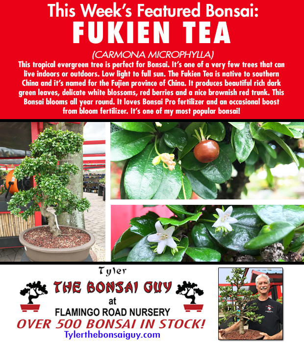 This week's featured Bonsai is FUKIEN TEA. We have over 500 Bonsai in stock. Bonsai makes a GREAT gift! http://www.tylerthebonsaiguy.com