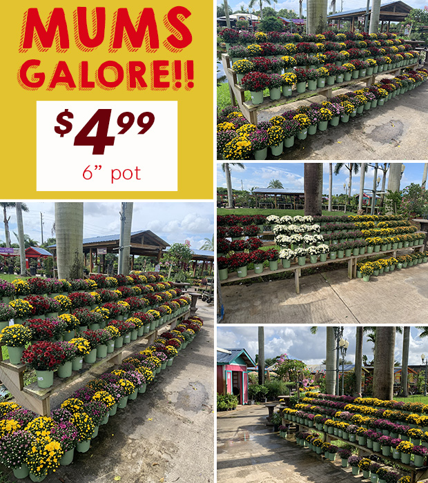 "Mums Galore! Just $4.99 for a 6"" pot!"