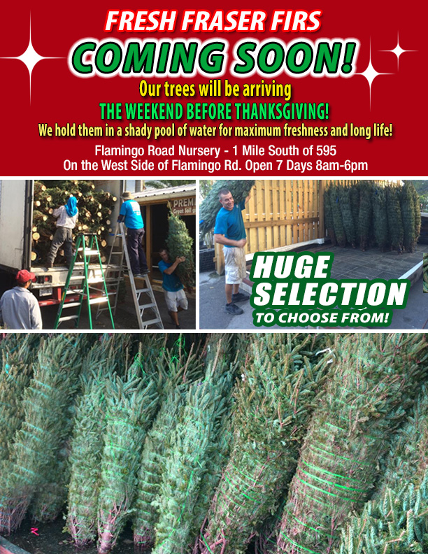 Chriastmas trees arriving soon, look for them the Friday before Thanksgiving. Fresh Fraser firs for your holiday decor!