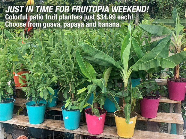Just in time for Fruitopia weekend! Colorful patio fruit planters just $34.99 each Choose from guava, papaya and banana