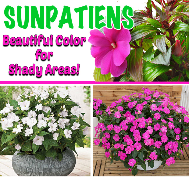 Fresh Sunpatiens, beautiful color for shady areas.