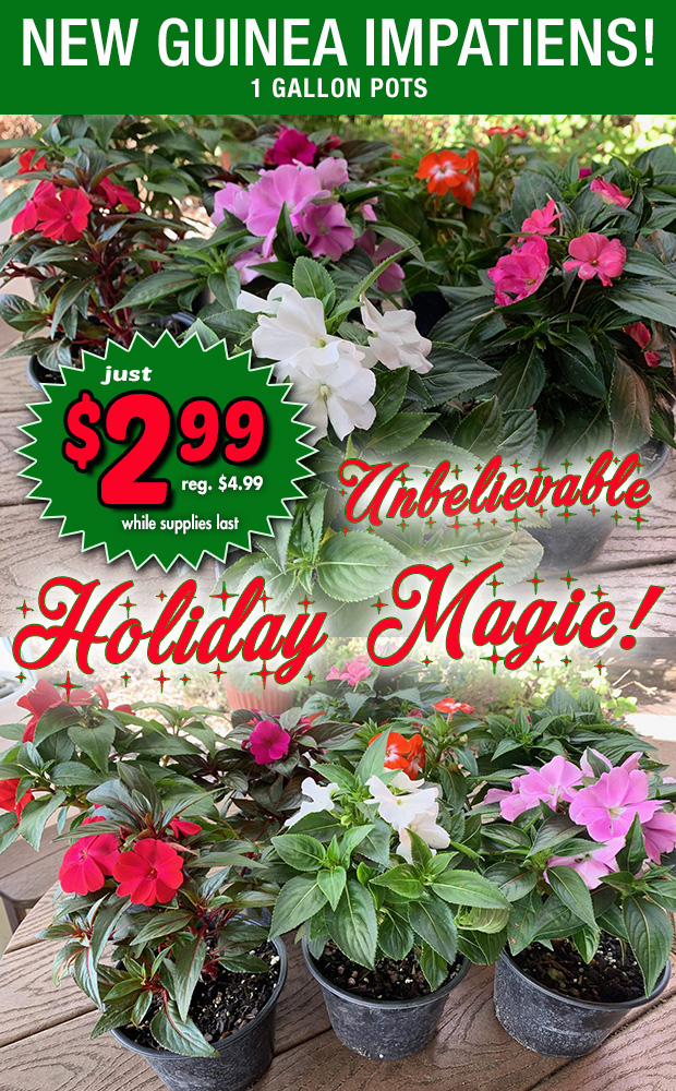 Unbelievable Holiday Magic! New Guinea Impatiens in 1 gallon pots only $2.99 while supplies last. Reg. $4.99