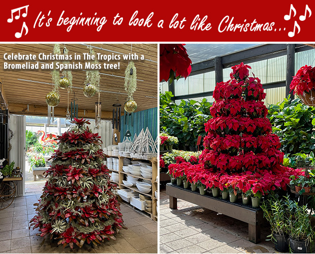 It's beginning to look a lot like Christmas! Come see our Bromeliad and Spanish Moss tree. Our Poinsettia tree is also looking beautiful!