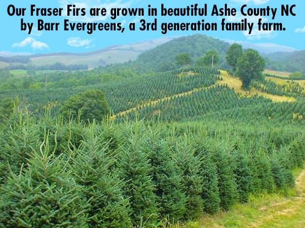 Our Fraser Firs are grown in beautiful Ashe County NC by Barr Evergreens, a 3rd generation family farm.