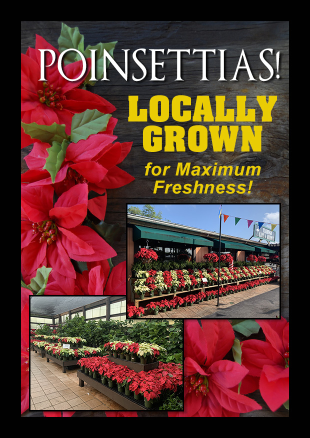 Locally grown Poinsettias are here!