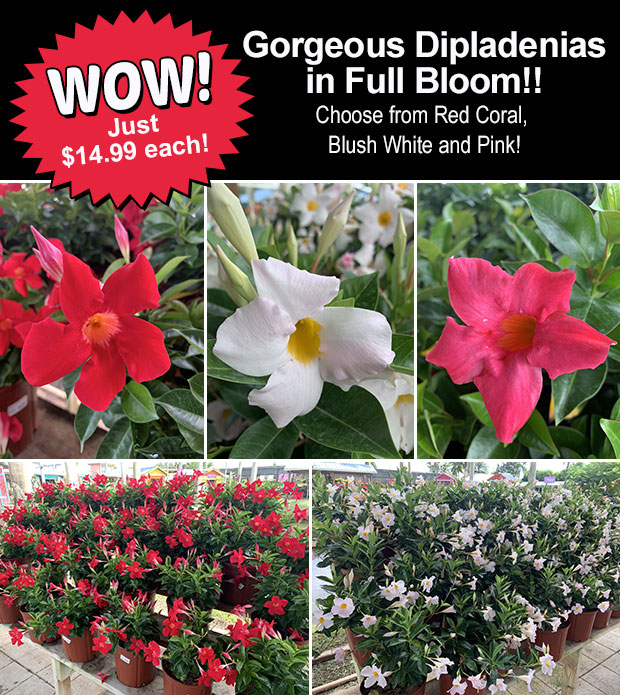 Dipladenia are here and in full bloom. WOW just $14.99!
