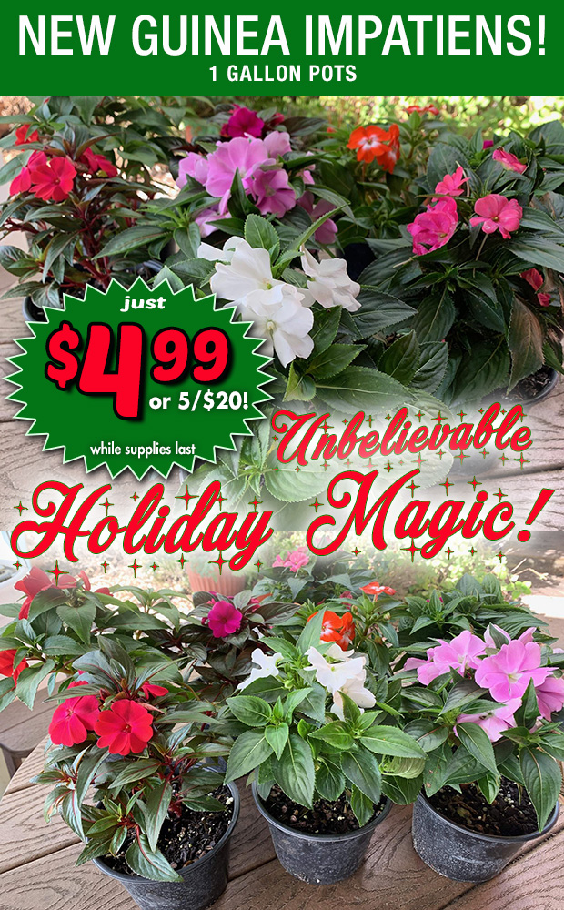 Unbelievable holiday magic! New Guinea Impatiens only $4.99 each or 5/$20 - 1 gallon pot while supplies last!