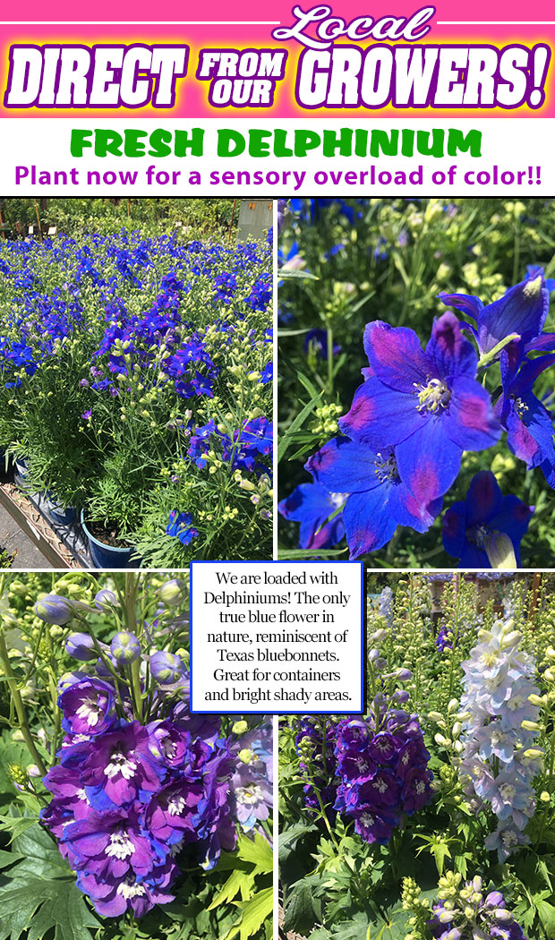 Delphinium is here and we are loaded! The only TRUE BLUE flower in nature. Get yours today!