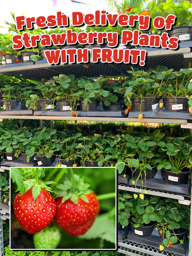 Strawberry plants are here and they HAVE FRUIT!
